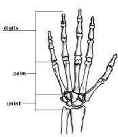 Huesos Metacarpianos