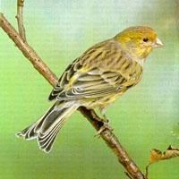 Canario (pájaro)