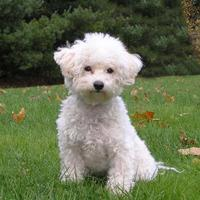 Bichon (dog breed)