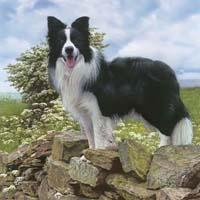 Border Collie (dog breed)