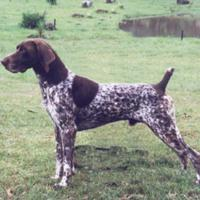 German Shorthaired Pointer (dog breed)