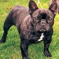 French Bulldog (dog breed)