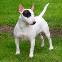 Bull Terrier (dog breed)