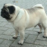 Pug (dog breed)