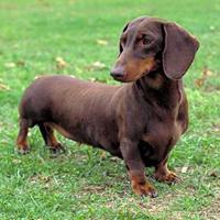 Dachshund (dog breed)