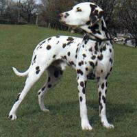 Dalmatian (dog breed)