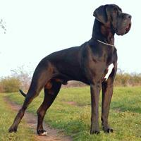 Great Dane (dog breed)