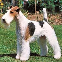 Fox Terrier (dog breed)