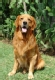 golden_retriever_2012_09_04_06_12_12.jpg
