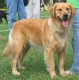 golden_retriever_2012_09_04_06_12_22.jpg