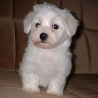 Maltese (dog breed)
