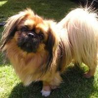Pekingese (dog breed)