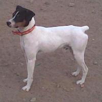 Ratonero bodeguero andaluz (dog breed)