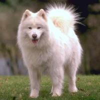 Samoyed (dog breed)