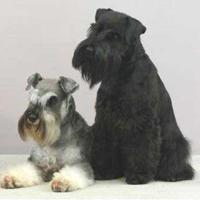 Schnauzer (dog breed)