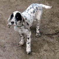 English Setter (dog breed)
