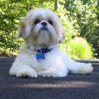 Shih Tzu (dog breed)