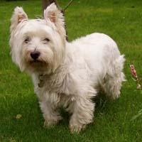 West Highland White Terrier (dog breed)