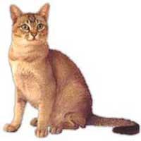 Asian Smoke - Tabby Cat