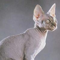 Rex Cat