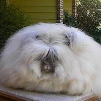 Conejo de angora