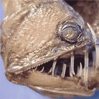 Pez vipperfish