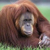 Orangut�n