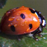 Mariquita (insecto)
