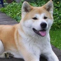 Akita Inu (dog breed)