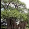 Los árboles más antiguos del mundo