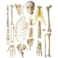 Ranking de los huesos más largos del esqueleto humano