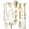 Ranking of the Human Skeletons' Longest Bones