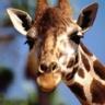Ranking de los animales más altos del mundo