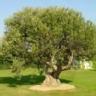 Ranking de los árboles más longevos del mundo